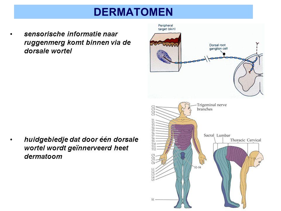DERMATOMEN sensorische informatie naar ruggenmerg komt binnen via de dorsale wortel huidgebiedje dat door één dorsale wortel wordt geïnnerveerd heet d