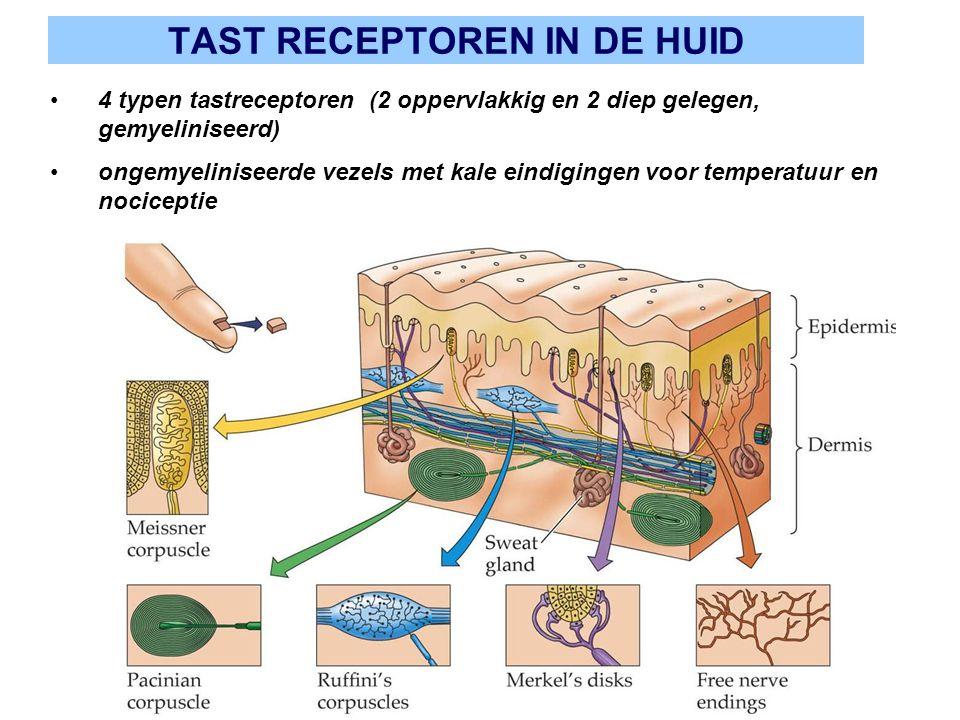 TAST RECEPTOREN IN DE HUID 4 typen tastreceptoren (2 oppervlakkig en 2 diep gelegen, gemyeliniseerd) ongemyeliniseerde vezels met kale eindigingen voo