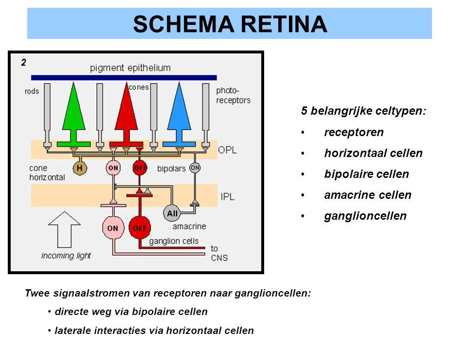 SCHEMA RETINA 5 belangrijke celtypen: receptoren horizontaal cellen bipolaire cellen amacrine cellen ganglioncellen Twee signaalstromen van receptoren