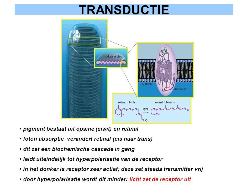 TRANSDUCTIE pigment bestaat uit opsine (eiwit) en retinal foton absorptie verandert retinal (cis naar trans) dit zet een biochemische cascade in gang