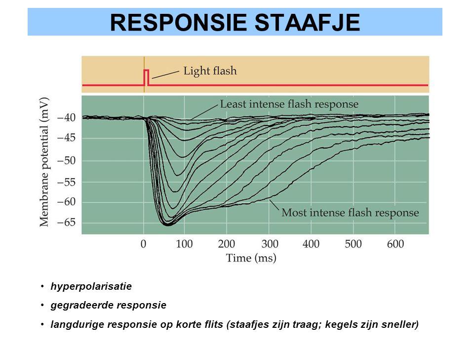 RESPONSIE STAAFJE hyperpolarisatie gegradeerde responsie langdurige responsie op korte flits (staafjes zijn traag; kegels zijn sneller)