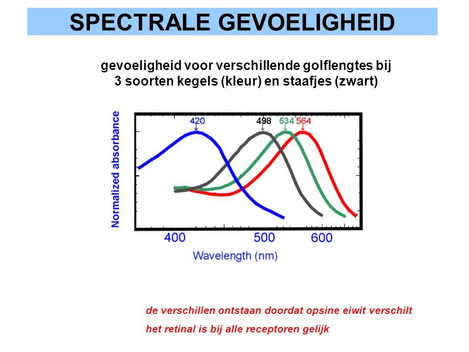 SPECTRALE GEVOELIGHEID gevoeligheid voor verschillende golflengtes bij 3 soorten kegels (kleur) en staafjes (zwart) de verschillen ontstaan doordat op