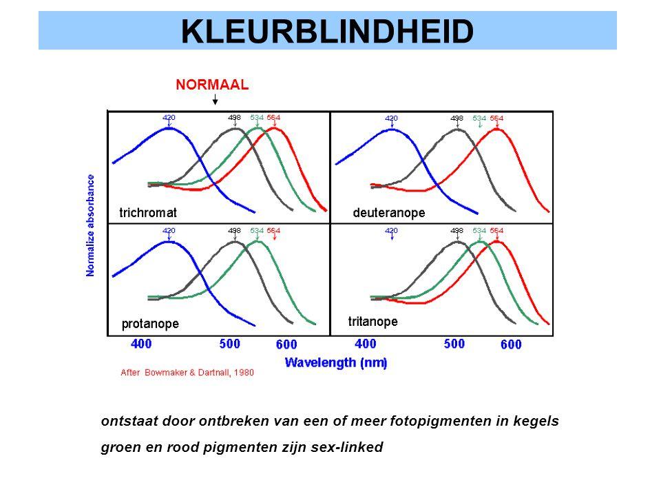 KLEURBLINDHEID ontstaat door ontbreken van een of meer fotopigmenten in kegels groen en rood pigmenten zijn sex-linked NORMAAL