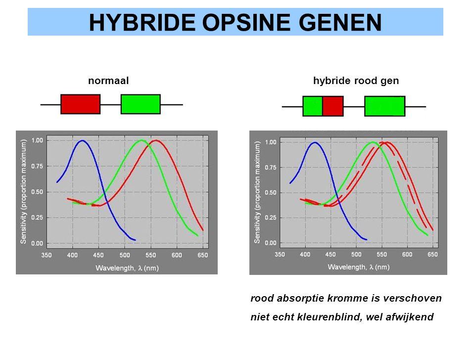 HYBRIDE OPSINE GENEN normaal hybride rood gen rood absorptie kromme is verschoven niet echt kleurenblind, wel afwijkend