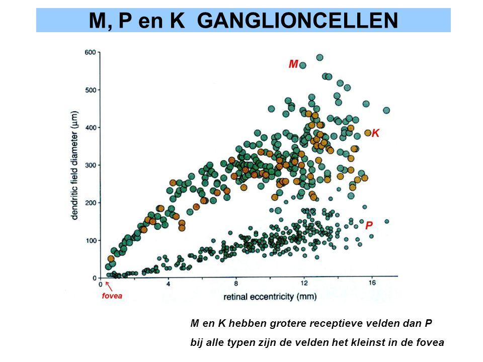 M, P en K GANGLIONCELLEN M en K hebben grotere receptieve velden dan P bij alle typen zijn de velden het kleinst in de fovea