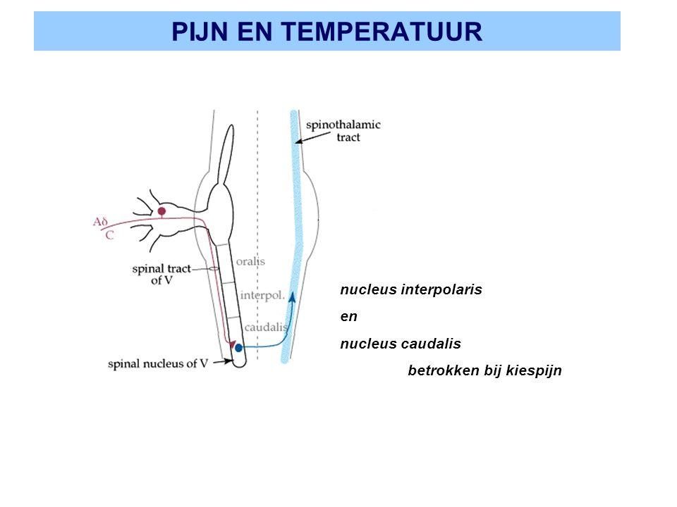 PIJN EN TEMPERATUUR nucleus interpolaris en nucleus caudalis betrokken bij kiespijn