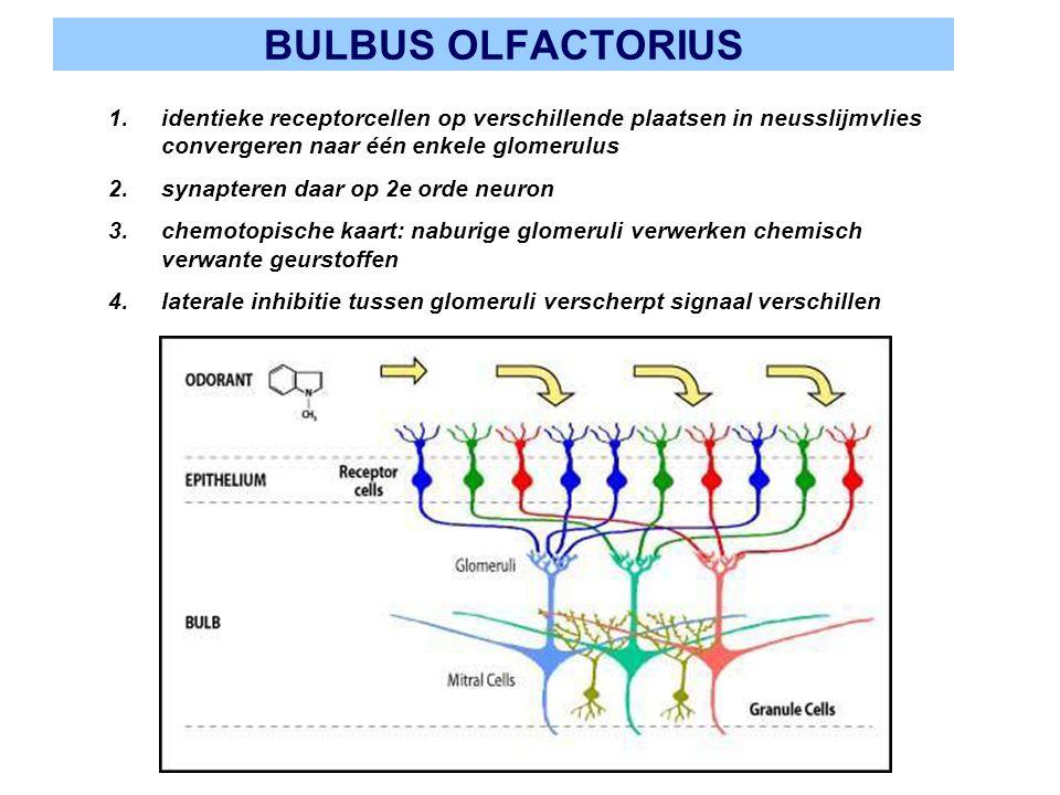 BULBUS OLFACTORIUS 1.identieke receptorcellen op verschillende plaatsen in neusslijmvlies convergeren naar één enkele glomerulus 2.synapteren daar op