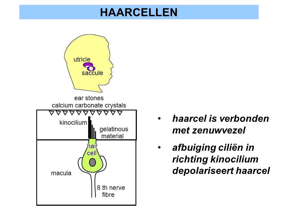HAARCELLEN haarcel is verbonden met zenuwvezel afbuiging ciliën in richting kinocilium depolariseert haarcel
