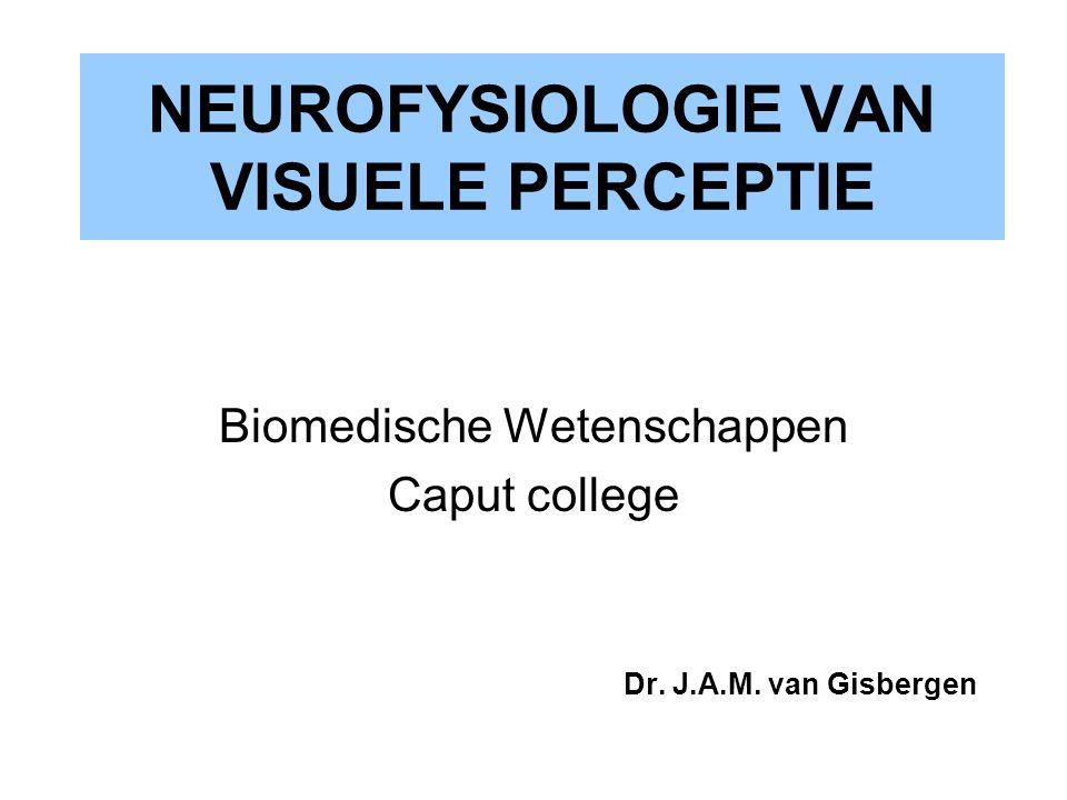 corticale modules zwarte en witte banden: oculair dominantie kolommen (L en R oog) gekleurde lijnen: cellen met gelijke orïentatie gevoeligheid snijpunten van deze lijnen: orïentatie ongevoelige neuronen (kleur blobs)