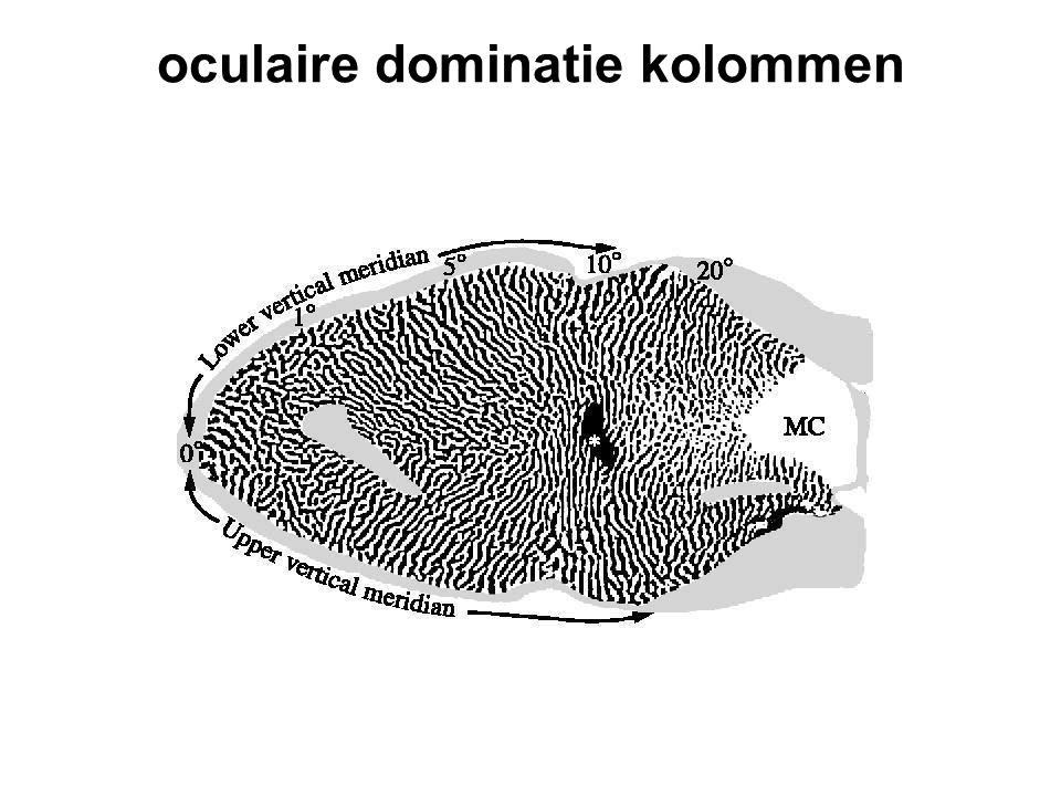 oculaire dominatie kolommen