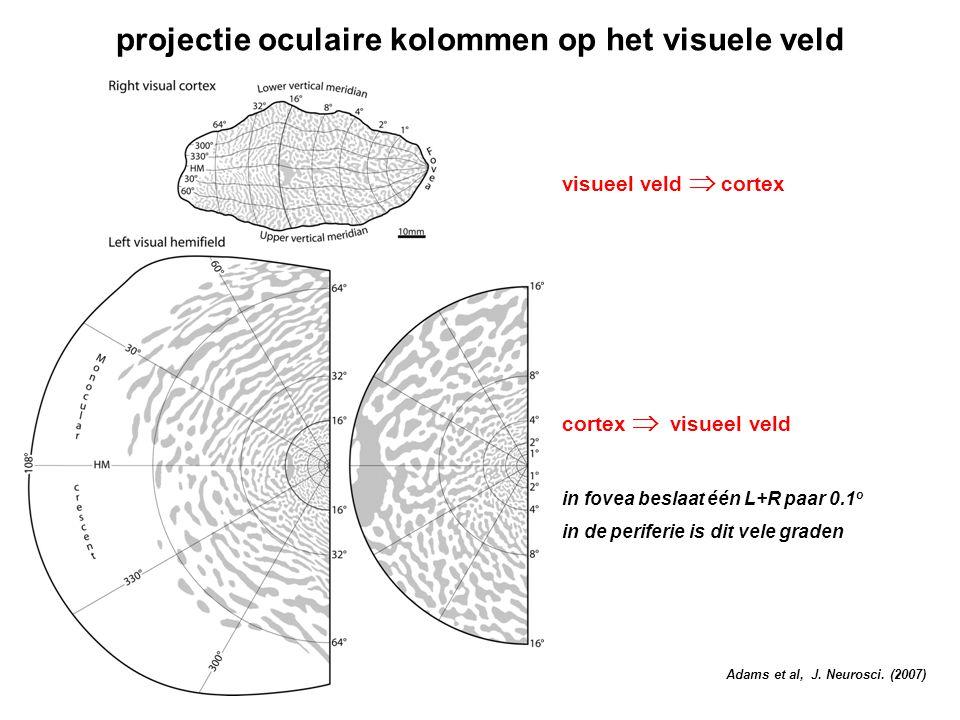 projectie oculaire kolommen op het visuele veld visueel veld  cortex cortex  visueel veld in fovea beslaat één L+R paar 0.1 o in de periferie is dit