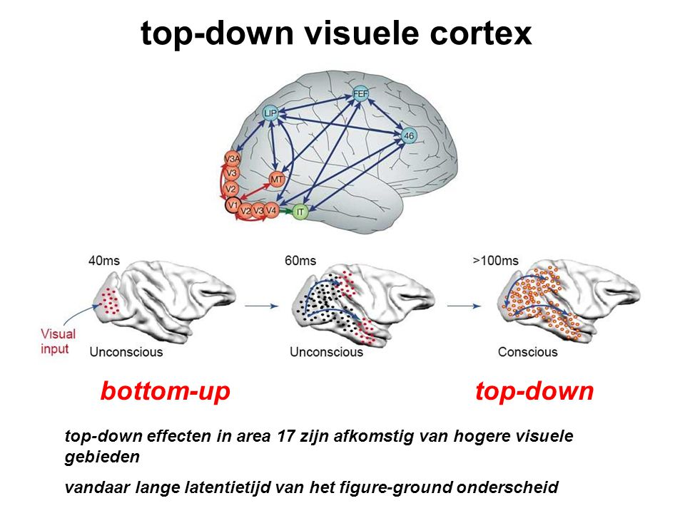 top-down visuele cortex bottom-up top-down top-down effecten in area 17 zijn afkomstig van hogere visuele gebieden vandaar lange latentietijd van het