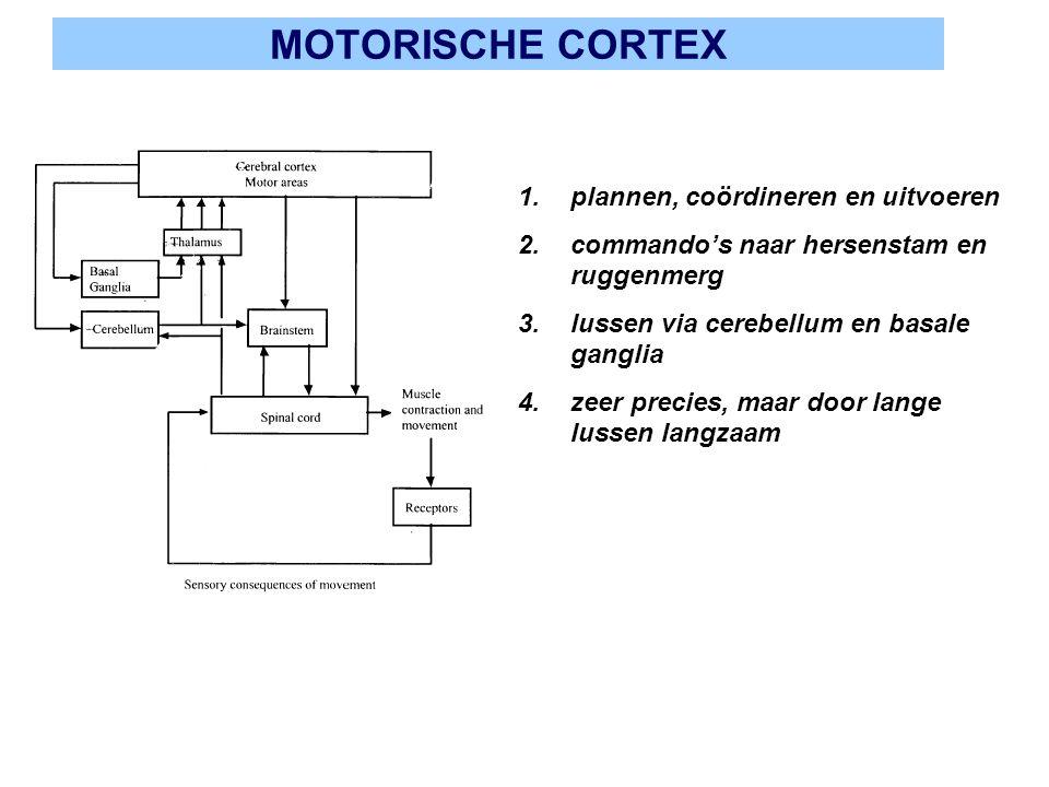 MOTORISCHE CORTEX 1.plannen, coördineren en uitvoeren 2.commando's naar hersenstam en ruggenmerg 3.lussen via cerebellum en basale ganglia 4.zeer prec