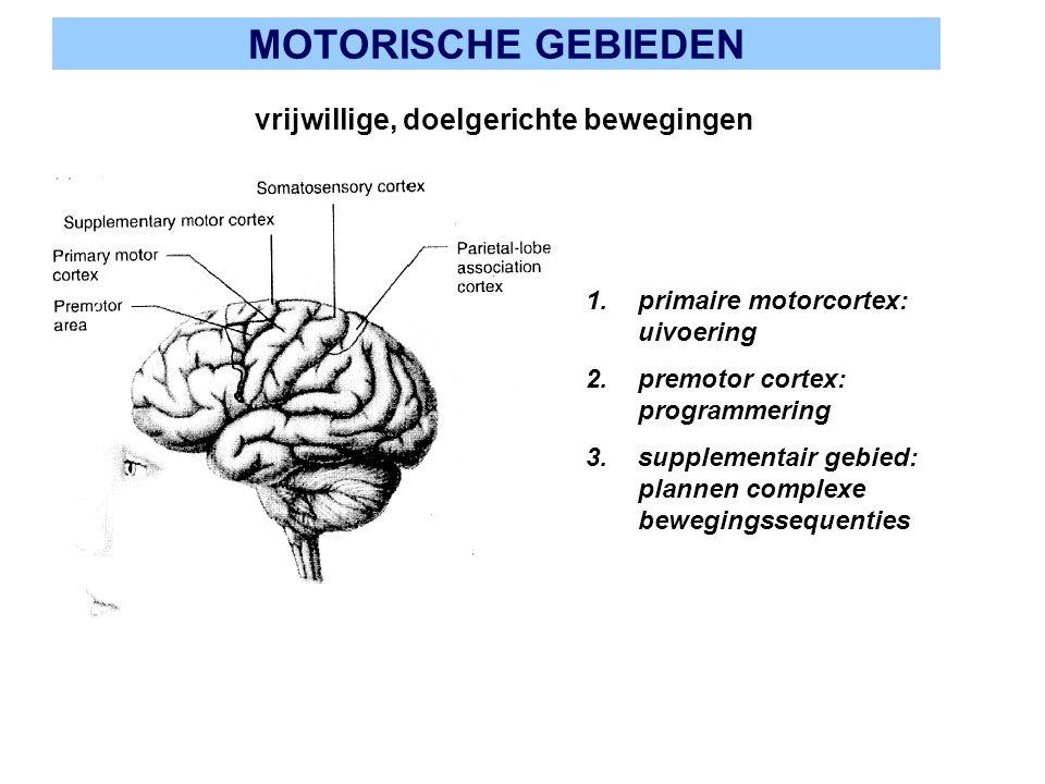 MOTORISCHE GEBIEDEN vrijwillige, doelgerichte bewegingen 1.primaire motorcortex: uivoering 2.premotor cortex: programmering 3.supplementair gebied: pl