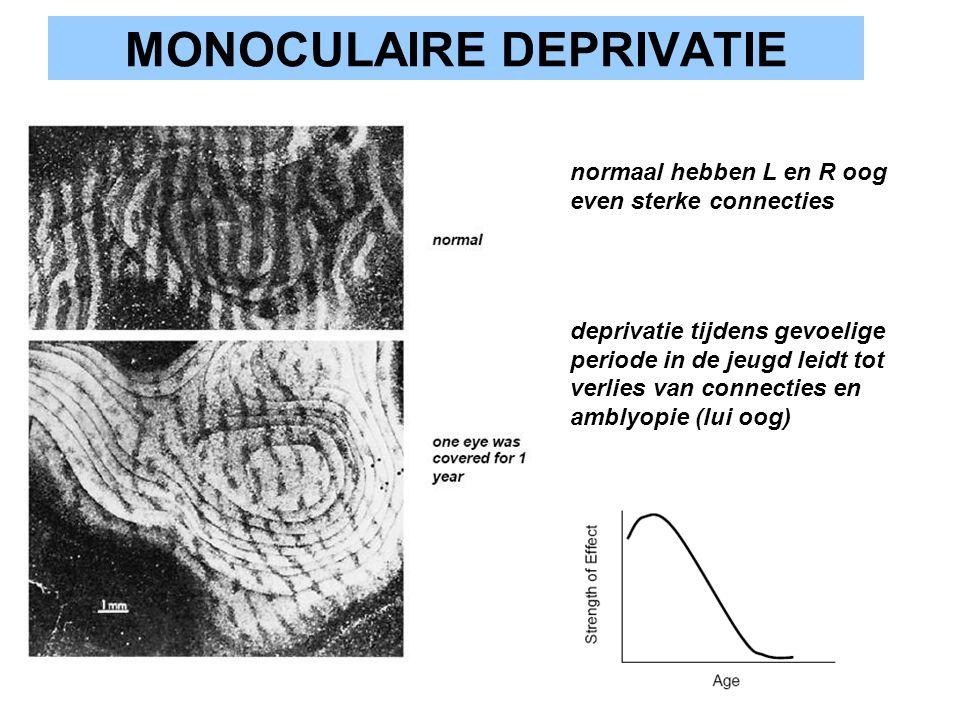 MONOCULAIRE DEPRIVATIE normaal hebben L en R oog even sterke connecties deprivatie tijdens gevoelige periode in de jeugd leidt tot verlies van connect