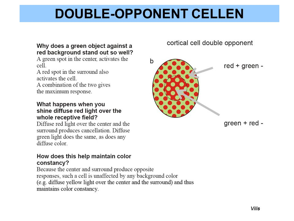 DOUBLE-OPPONENT CELLEN Vilis