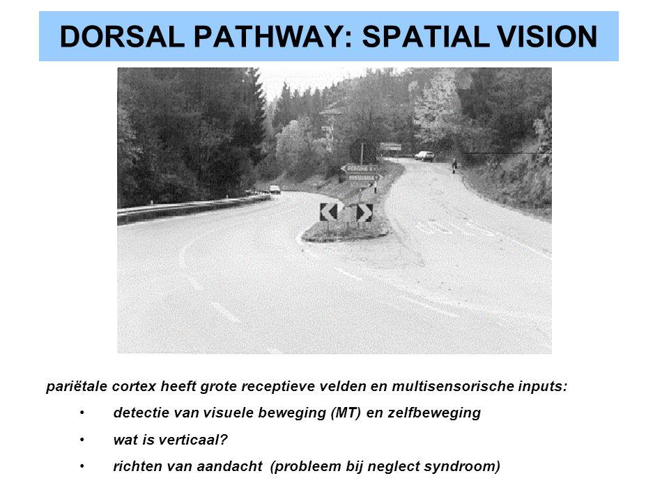 DORSAL PATHWAY: SPATIAL VISION pariëtale cortex heeft grote receptieve velden en multisensorische inputs: detectie van visuele beweging (MT) en zelfbe