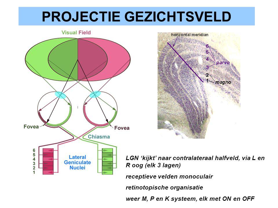 PROJECTIE GEZICHTSVELD LGN 'kijkt' naar contralateraal halfveld, via L en R oog (elk 3 lagen) receptieve velden monoculair retinotopische organisatie