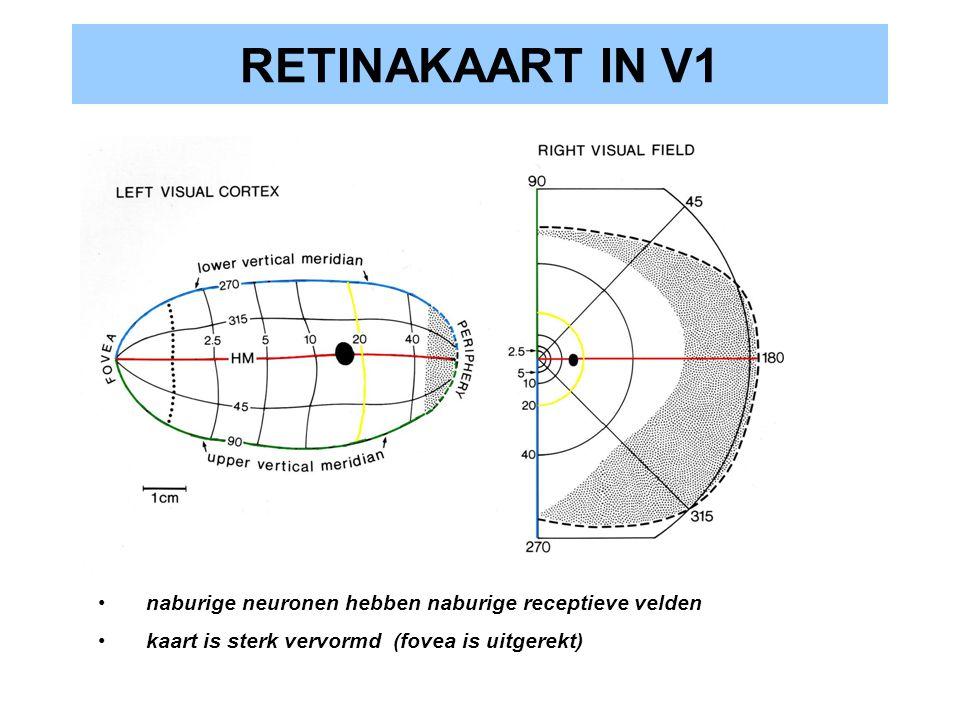 RETINAKAART IN V1 naburige neuronen hebben naburige receptieve velden kaart is sterk vervormd (fovea is uitgerekt)