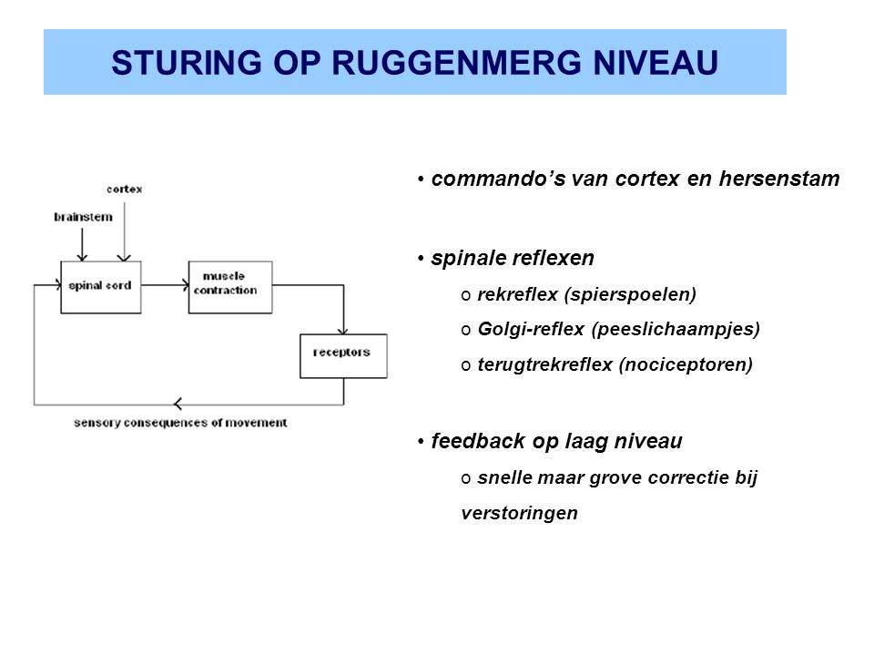 STURING OP RUGGENMERG NIVEAU commando's van cortex en hersenstam spinale reflexen o rekreflex (spierspoelen) o Golgi-reflex (peeslichaampjes) o terugt