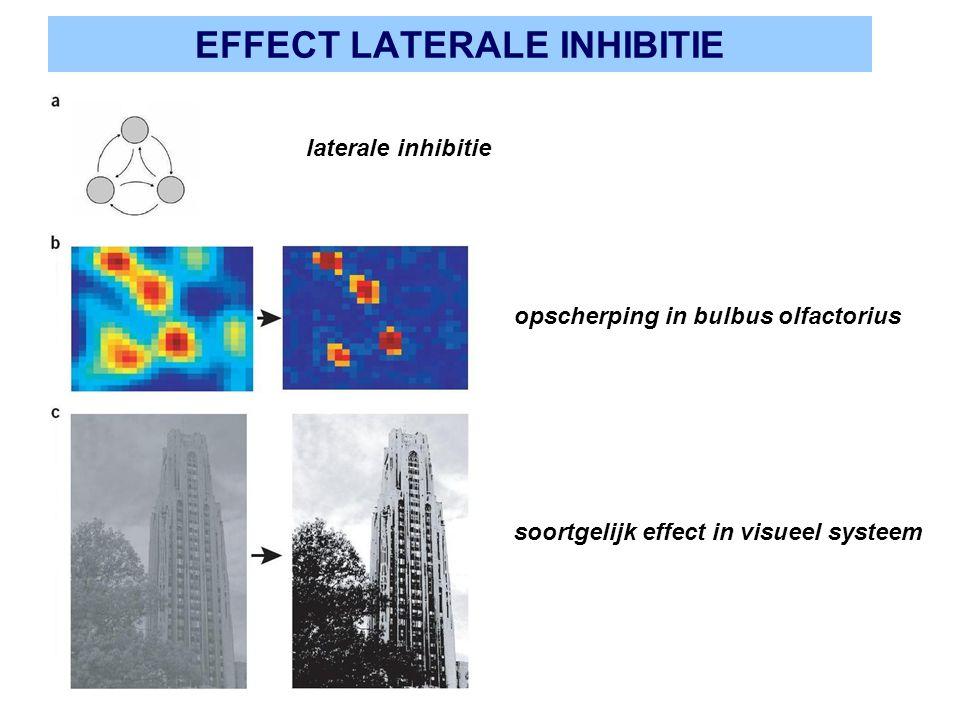 EFFECT LATERALE INHIBITIE laterale inhibitie opscherping in bulbus olfactorius soortgelijk effect in visueel systeem
