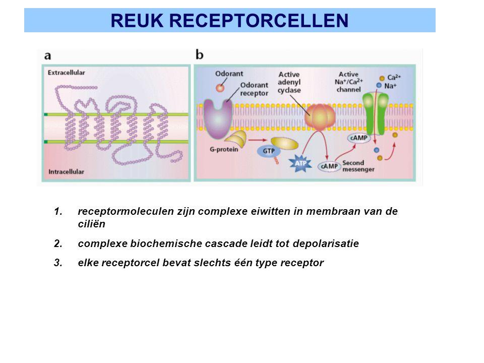REUK RECEPTORCELLEN 1.receptormoleculen zijn complexe eiwitten in membraan van de ciliën 2.complexe biochemische cascade leidt tot depolarisatie 3.elk