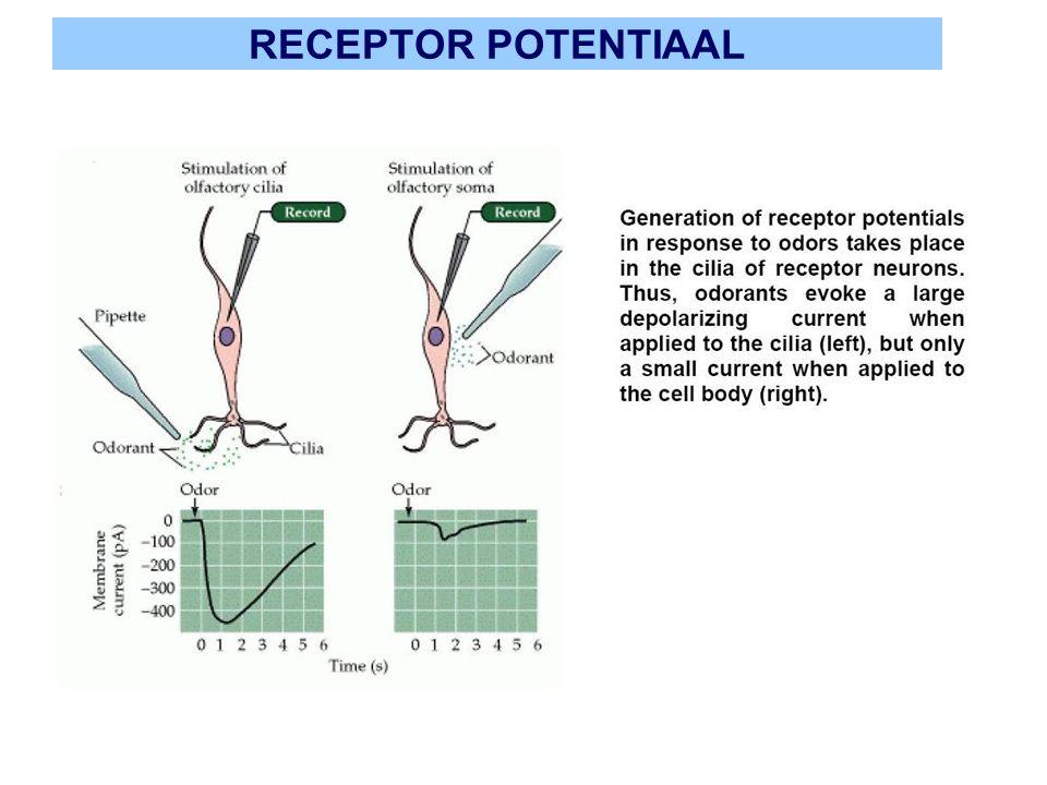 SPECIFICITEIT RECEPTORCELLEN receptorcellen zijn niet zeer specifiek: elke geurstof activeert meerdere receptorcellen