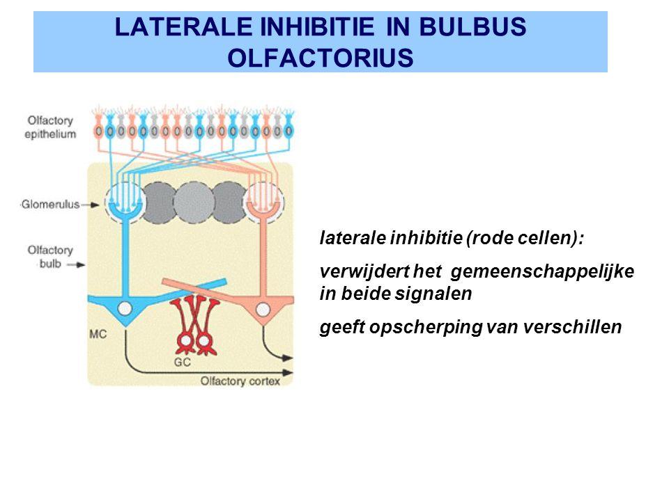 LATERALE INHIBITIE IN BULBUS OLFACTORIUS laterale inhibitie (rode cellen): verwijdert het gemeenschappelijke in beide signalen geeft opscherping van v