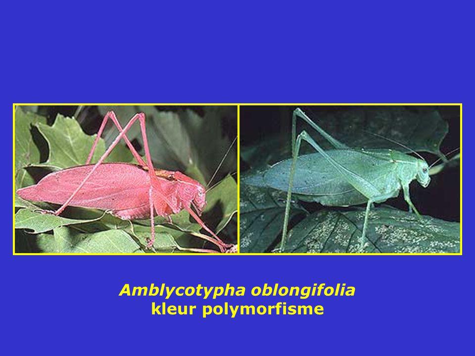 Amblycotypha oblongifolia kleur polymorfisme