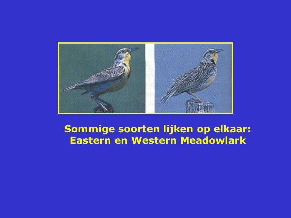 Sommige soorten lijken op elkaar: Eastern en Western Meadowlark