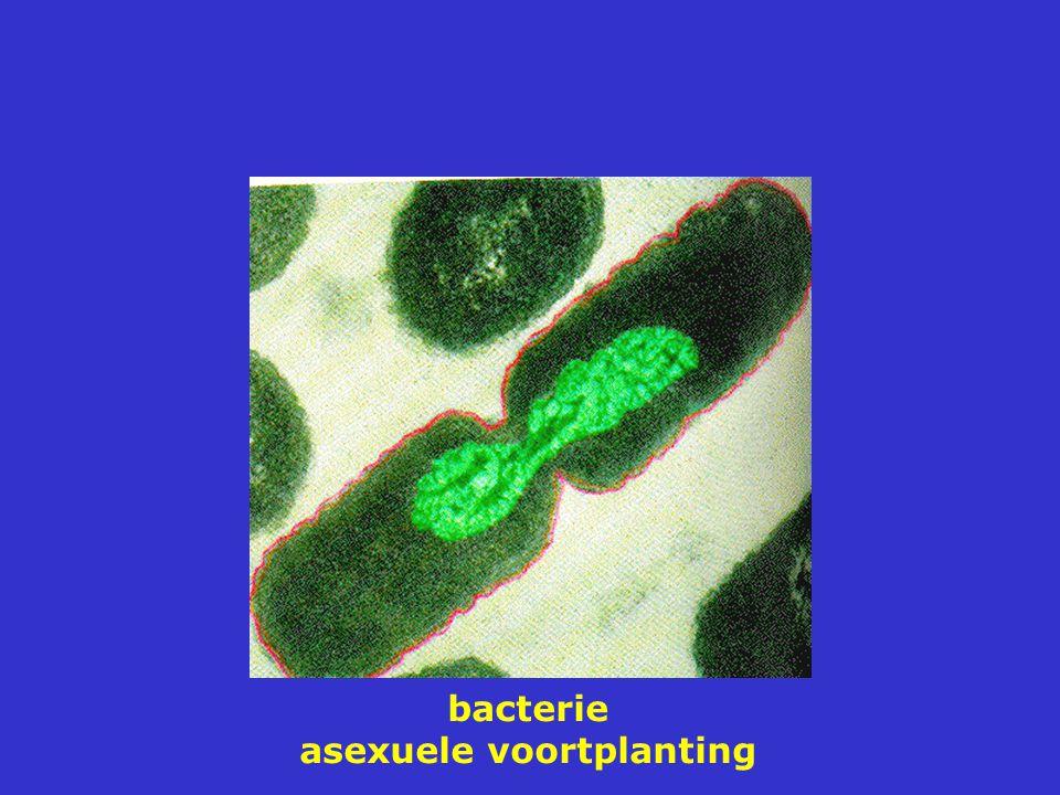 bacterie asexuele voortplanting