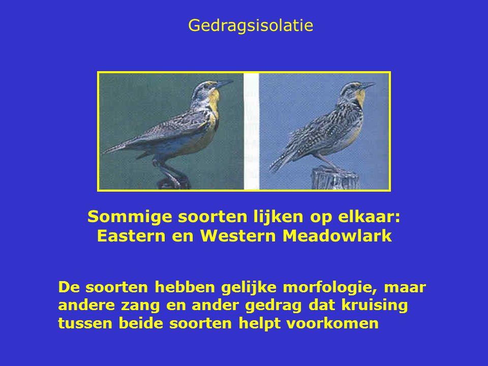 Sommige soorten lijken op elkaar: Eastern en Western Meadowlark De soorten hebben gelijke morfologie, maar andere zang en ander gedrag dat kruising tussen beide soorten helpt voorkomen Gedragsisolatie