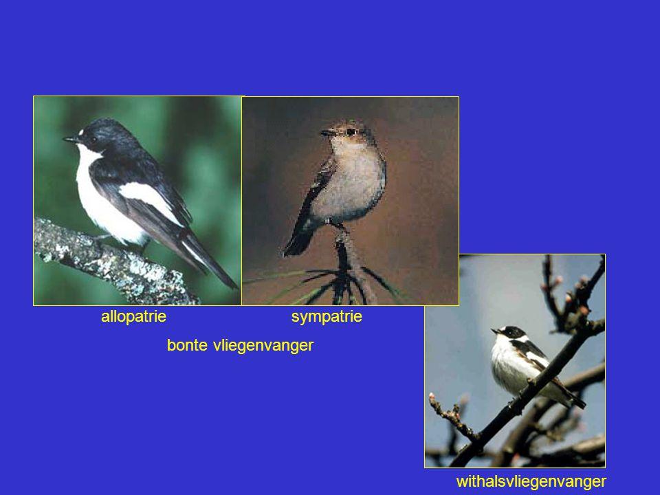 bonte vliegenvanger withalsvliegenvanger sympatrieallopatrie