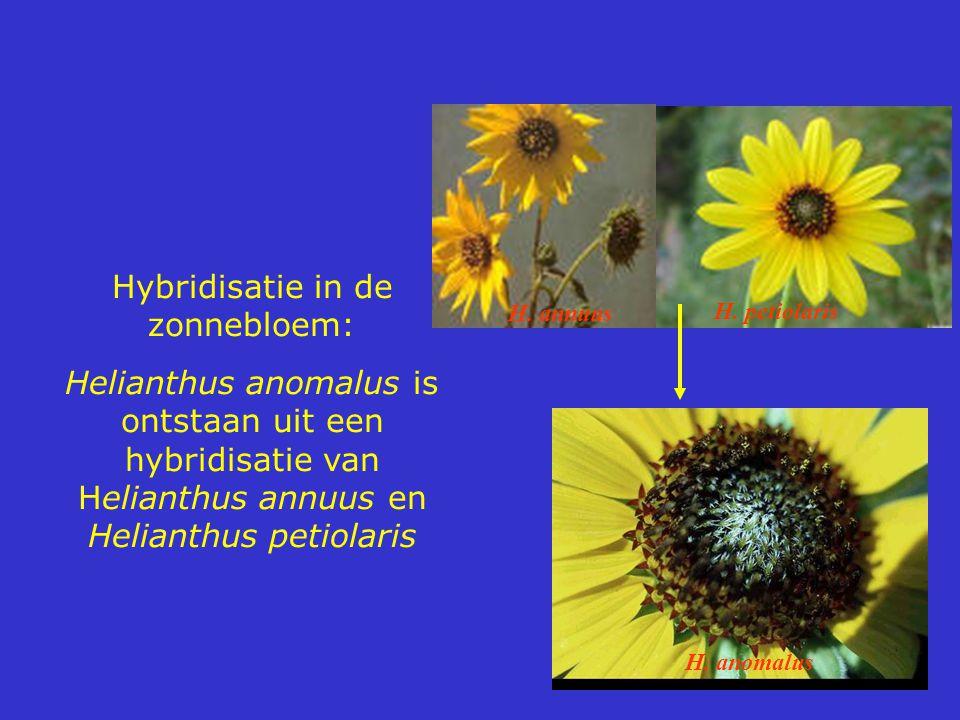 Hybridisatie in de zonnebloem: Helianthus anomalus is ontstaan uit een hybridisatie van Helianthus annuus en Helianthus petiolaris H. annuus H. petiol