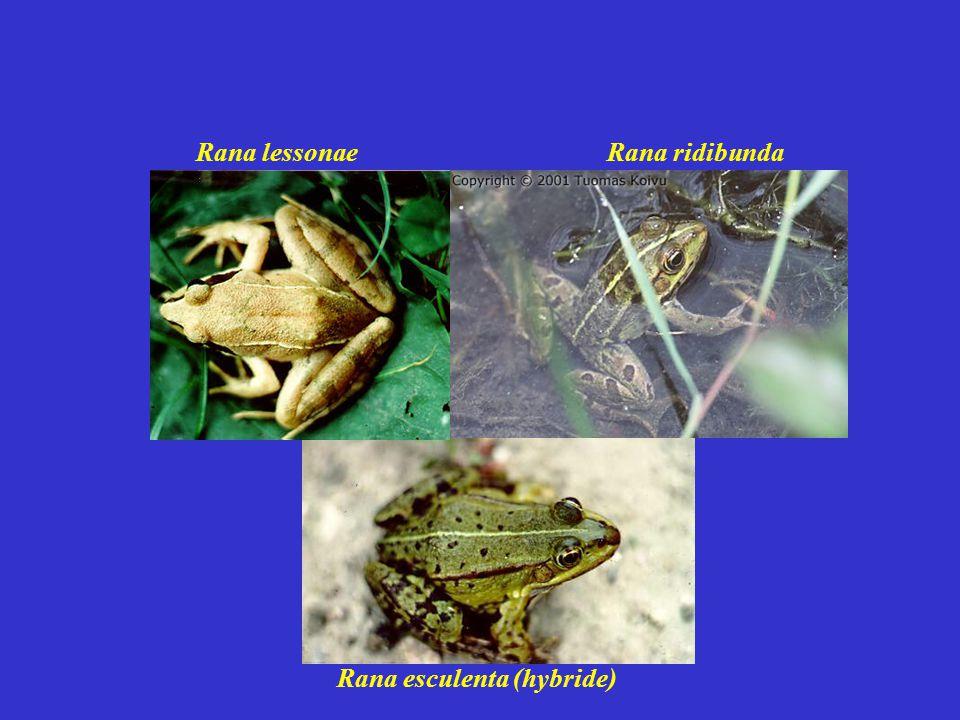 Rana esculenta (hybride) Rana ridibundaRana lessonae