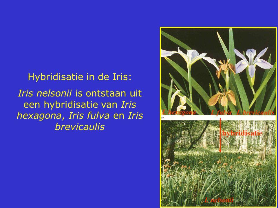Hybridisatie in de Iris: Iris nelsonii is ontstaan uit een hybridisatie van Iris hexagona, Iris fulva en Iris brevicaulis I. nelsonii I. hexagona I. f