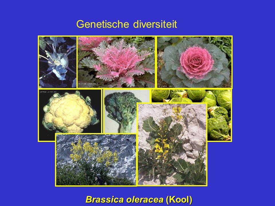 Brassica oleracea (Kool) Genetische diversiteit