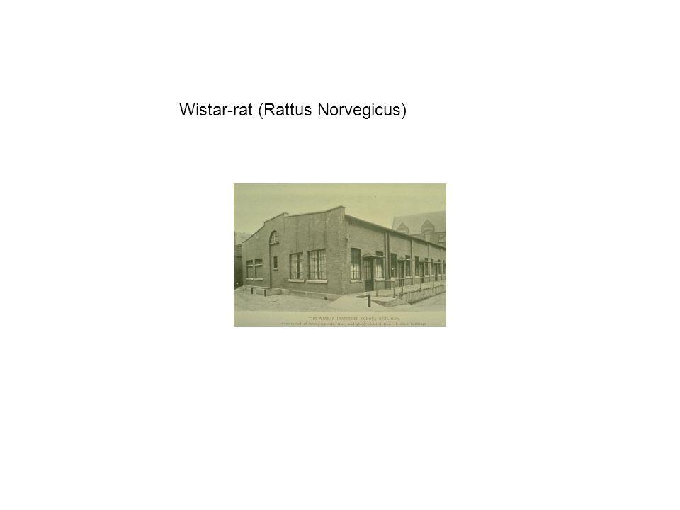 Wistar-rat (Rattus Norvegicus)