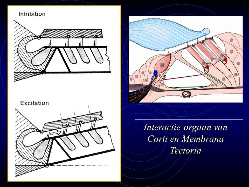 Interactie orgaan van Corti en Membrana Tectoria
