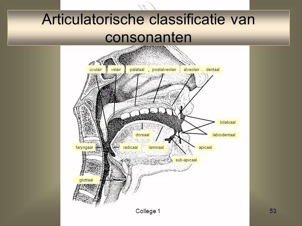 52 tongwortel lippen strotklep (epiglottis) faryngale wand strottenhoofd (larynx) stembanden ATW/College 1 zacht gehemelte (velum) actieve articulator