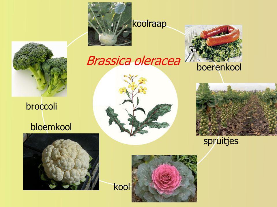 """College """"keerpunten"""" - UvA - (2004-2005) - S. Menken Brassica oleracea broccoli spruitjes boerenkool koolraap kool bloemkool"""