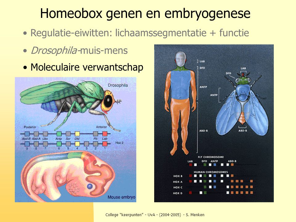 """College """"keerpunten"""" - UvA - (2004-2005) - S. Menken Homeobox genen en embryogenese Regulatie-eiwitten: lichaamssegmentatie + functie Drosophila-muis-"""