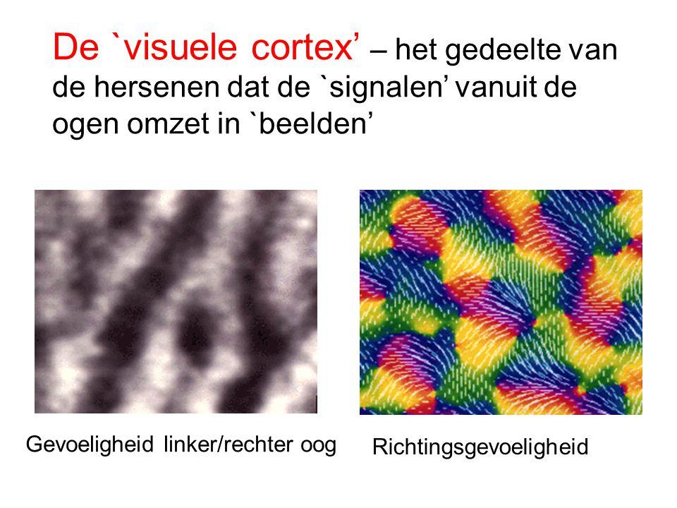 De `visuele cortex' – het gedeelte van de hersenen dat de `signalen' vanuit de ogen omzet in `beelden' Gevoeligheid linker/rechter oog Richtingsgevoel