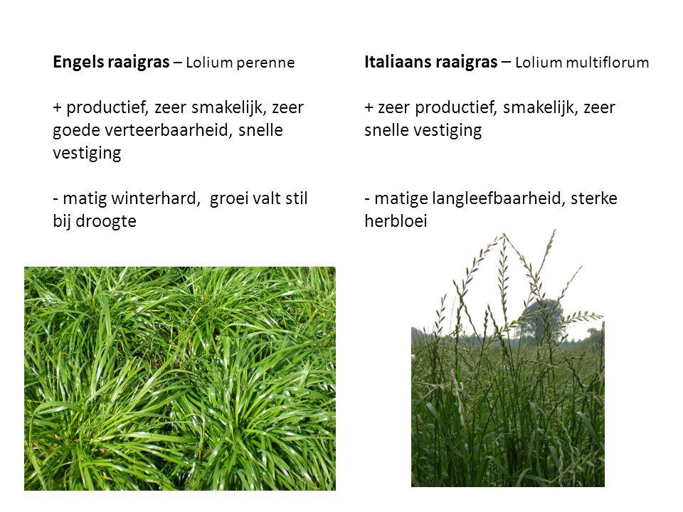 Engels raaigras – Lolium perenne + productief, zeer smakelijk, zeer goede verteerbaarheid, snelle vestiging - matig winterhard, groei valt stil bij dr