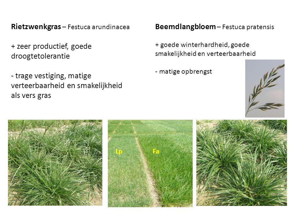 Rietzwenkgras – Festuca arundinacea + zeer productief, goede droogtetolerantie - trage vestiging, matige verteerbaarheid en smakelijkheid als vers gra