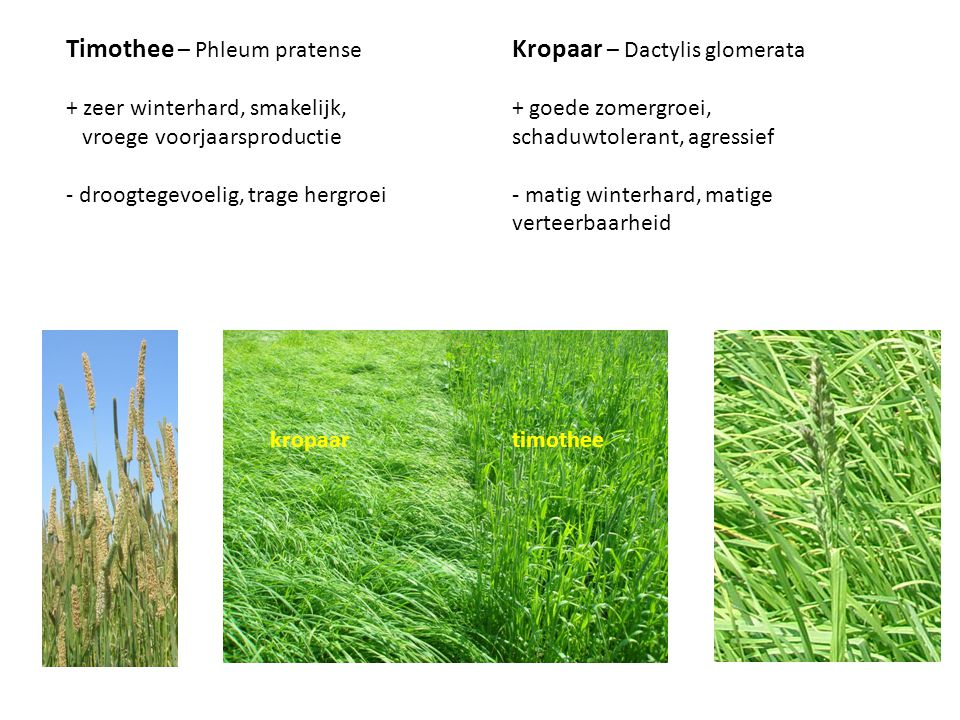 Timothee – Phleum pratense + zeer winterhard, smakelijk, vroege voorjaarsproductie - droogtegevoelig, trage hergroei Kropaar – Dactylis glomerata + go