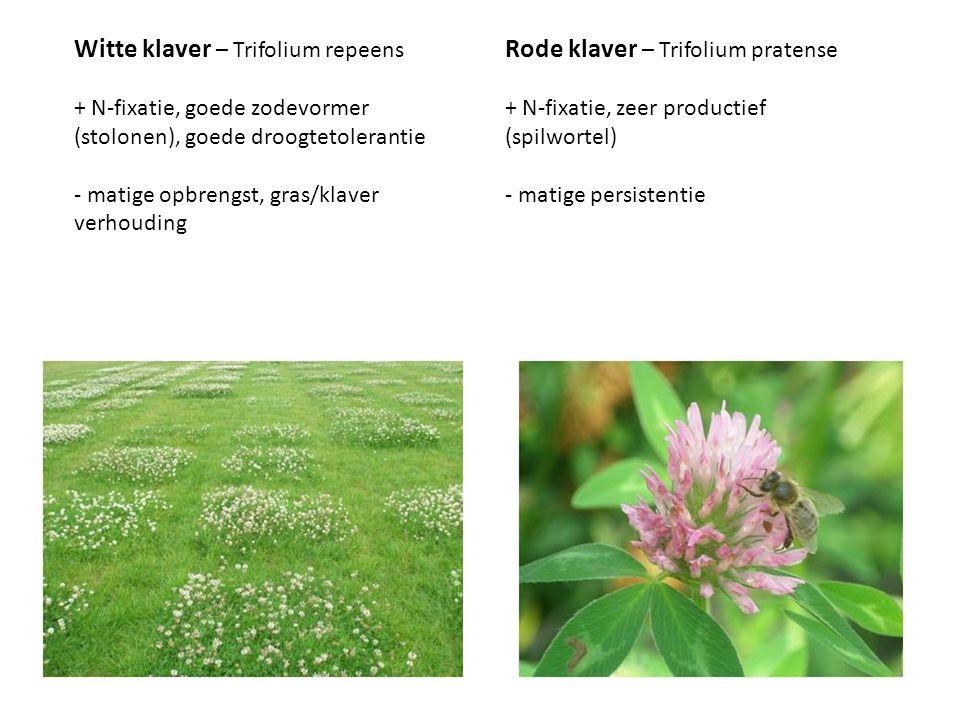 Witte klaver – Trifolium repeens + N-fixatie, goede zodevormer (stolonen), goede droogtetolerantie - matige opbrengst, gras/klaver verhouding Rode kla