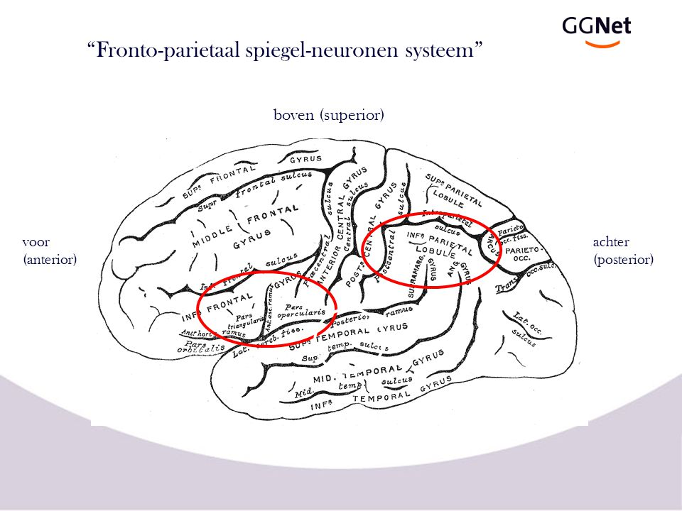 """Fronto-parietaal spiegel-neuronen systeem"" voor (anterior) achter (posterior) boven (superior)"