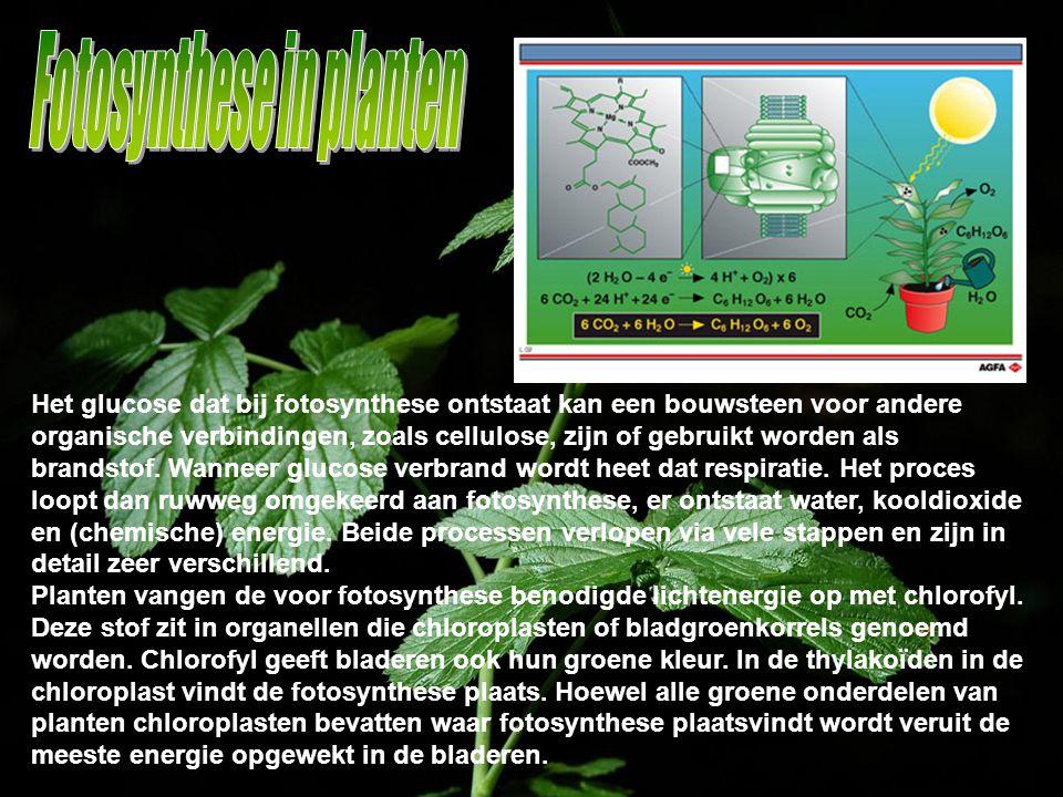 Het glucose dat bij fotosynthese ontstaat kan een bouwsteen voor andere organische verbindingen, zoals cellulose, zijn of gebruikt worden als brandsto