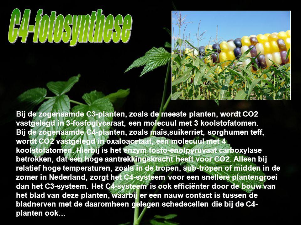 Bij de zogenaamde C3-planten, zoals de meeste planten, wordt CO2 vastgelegd in 3-fosfoglyceraat, een molecuul met 3 koolstofatomen. Bij de zogenaamde